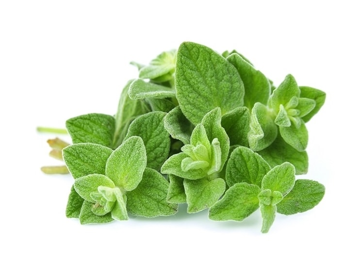 what is oregano